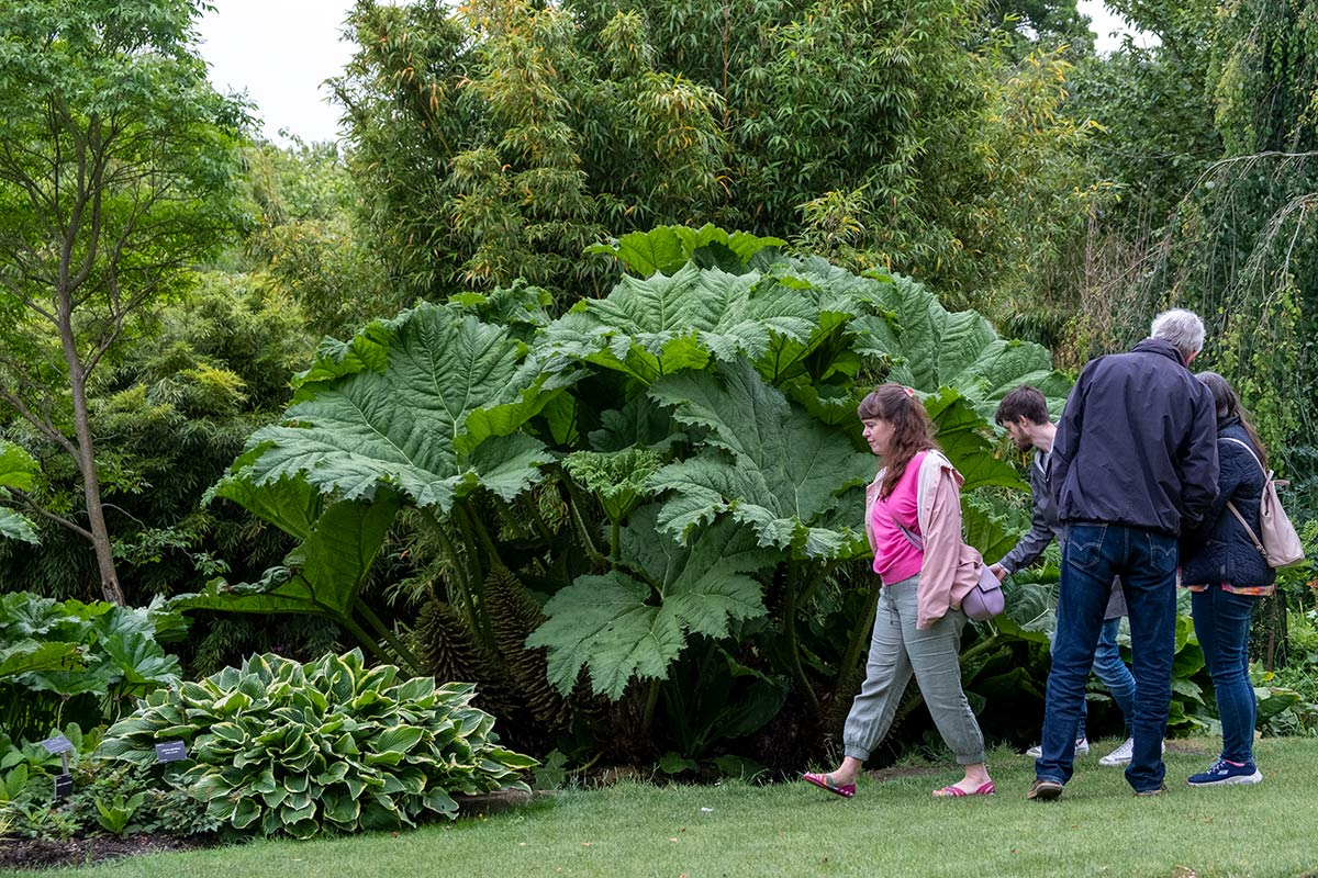 Gunnera manicata with people for size comparison