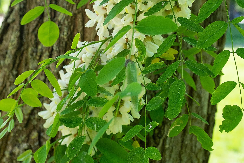 robinia pseudoacacia cloesup showing the racemes