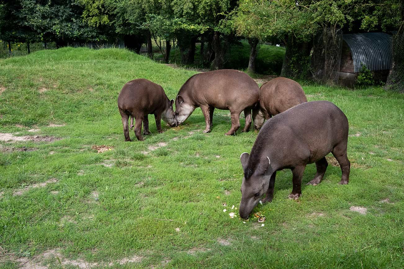 tapirs eating