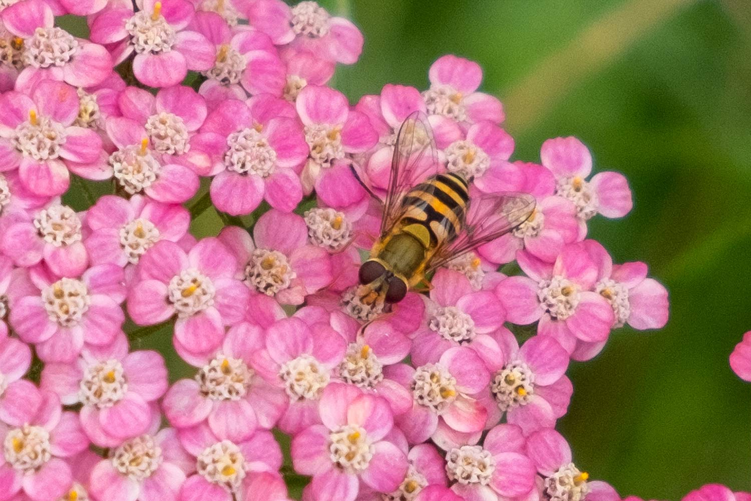 overfly on pink yarrow