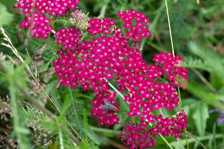 dark red yarrow flowers