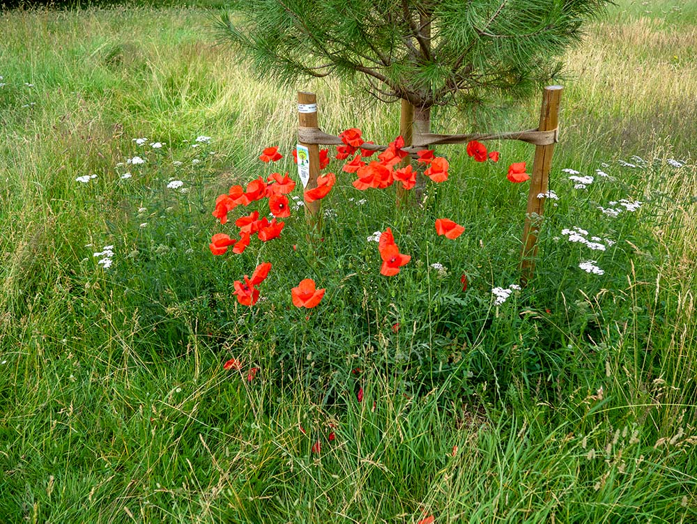 Unprocessed poppies on newly turned soil