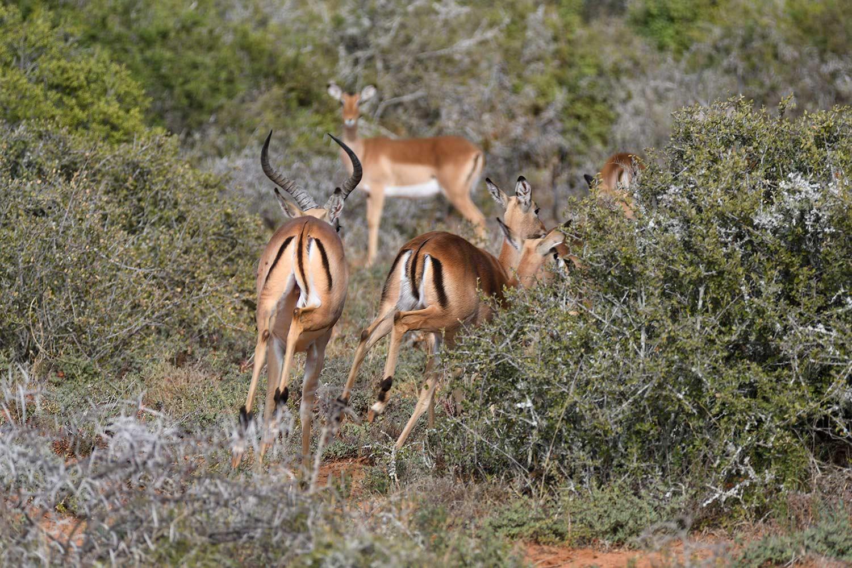 impala running into the bush
