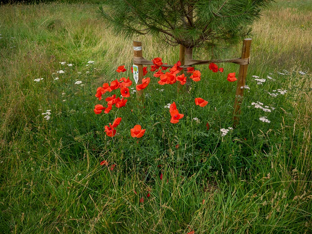 poppies on newly turned soil