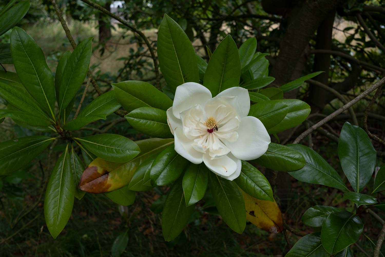 Magnolia grandiflora flower and leaves