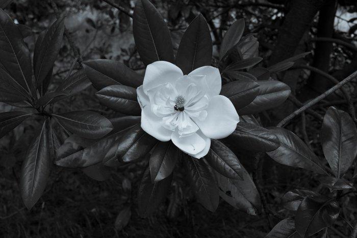 black and white version of Magnolia grandiflora