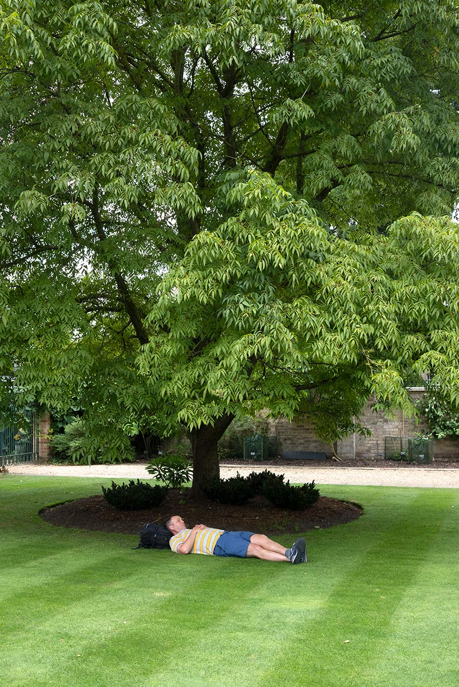 Platycarya strobilacea Juglandaceae with man asleep on the lawn before it.