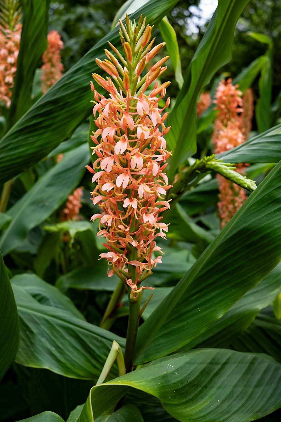 Hedychium species - flower and leaves