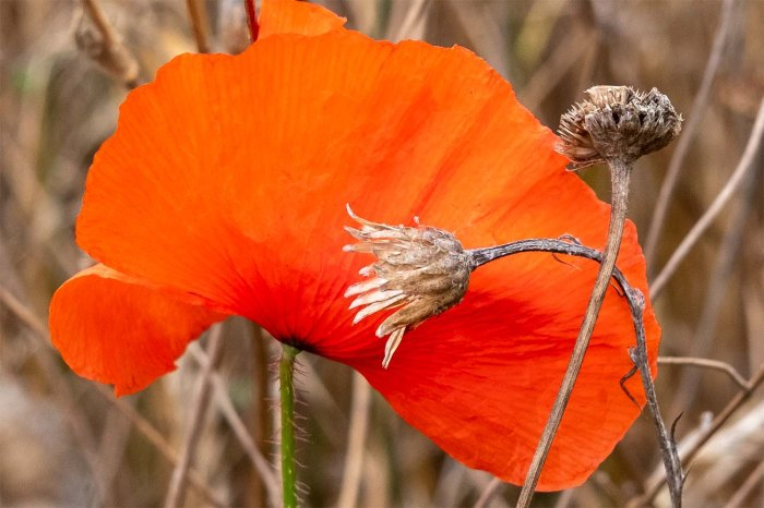 red poppy and seed heads