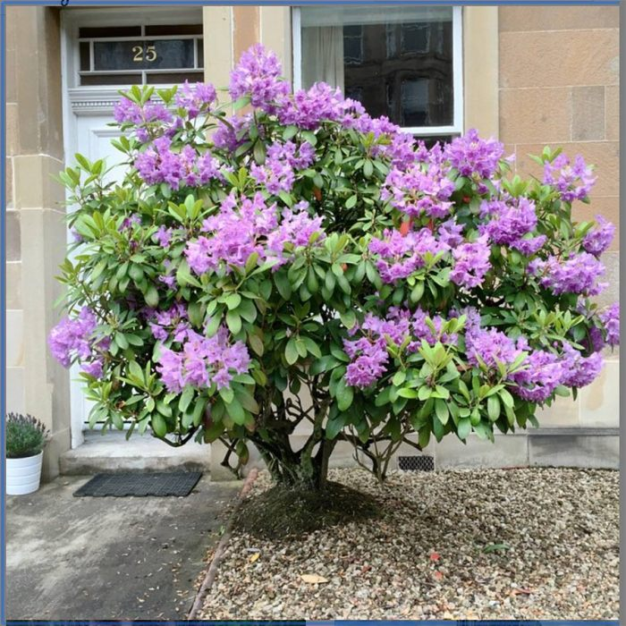 rhododendron in a sea of pebbles in a garden