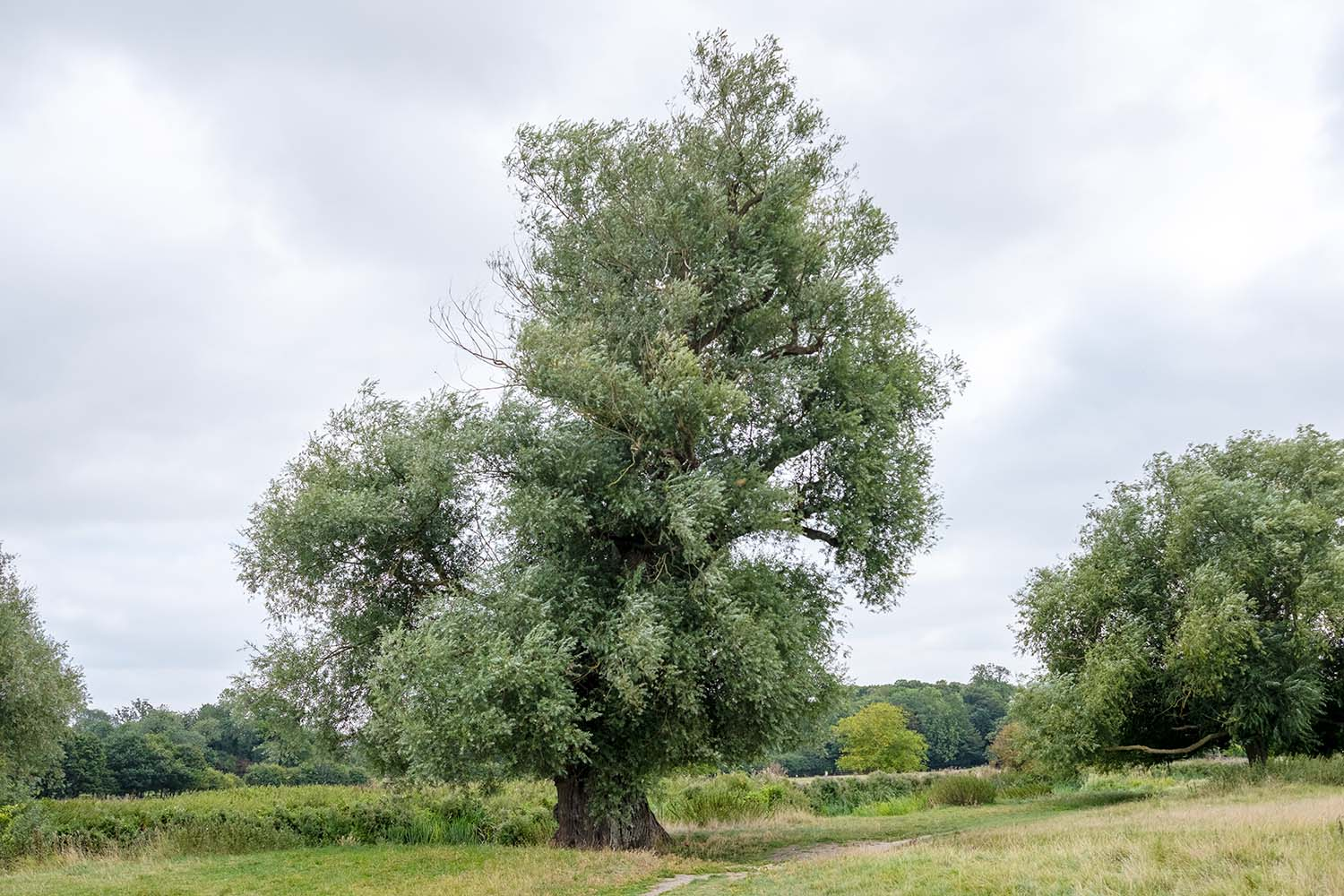 willow tree by the river Cam near Grantchester