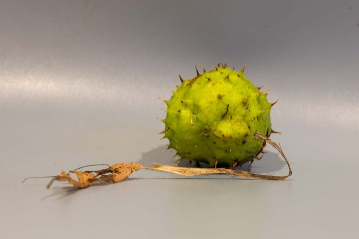 conker from a horse chestnut in its outer casing