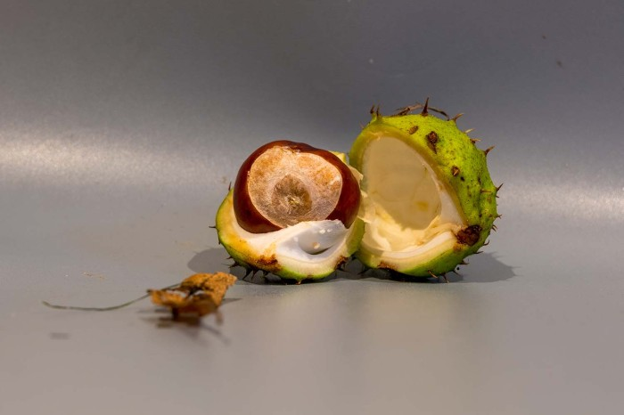 conker from a horse chestnut in its outer casing split apart and showing the conker within