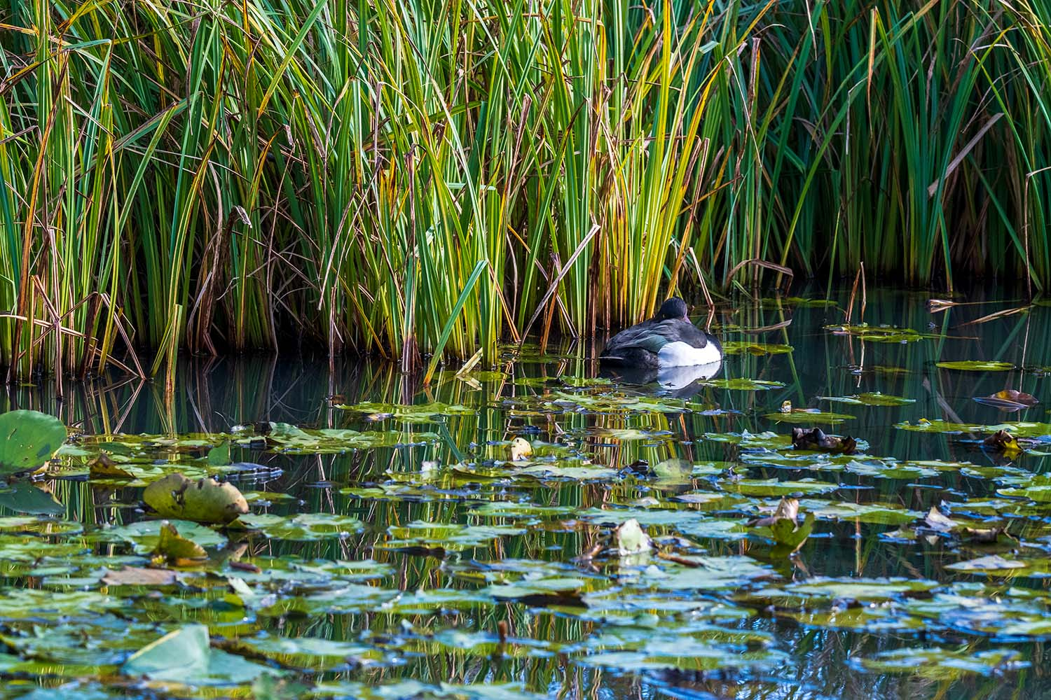 scene with reeds, water, and tufted duck